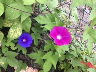 不思議・・・ 記憶にない青いあさがおの花が咲いている