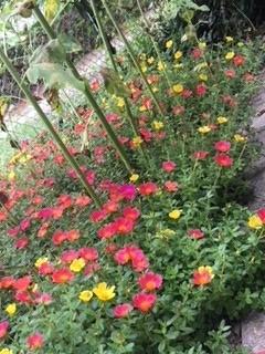 地表を覆いつくすポーチュラカ 暑くても元気に咲いてます